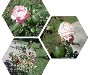 flowers, nice, and rose image
