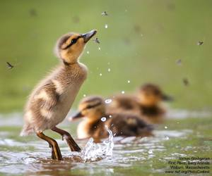 birds, duckling, and cute animals image