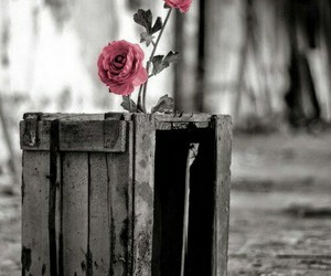 black and white, red, and roses image