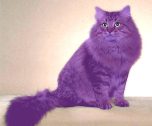 cat and purpel image