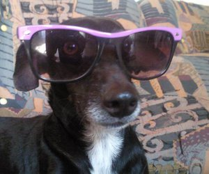 beautiful, dog, and sunglasses image