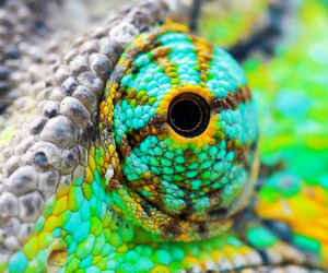 colorful, eyes, and reptiles image
