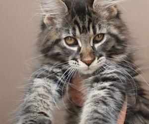 animal, cat, and lynx image