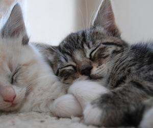 animal, kitten, and cat image