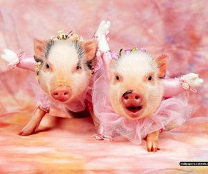 funny and pig image