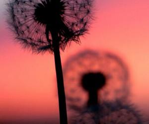 dandelion image