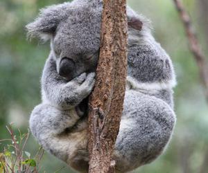 australia, Koala, and sleep image