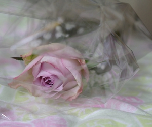 beauty, rose, and flower image
