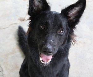 black, fluffy, and black dog image