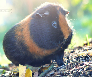 adorable, pet, and guinea-pig image