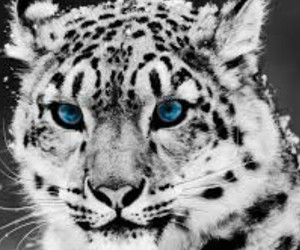 animal, neige, and tigre image