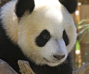 panda, panda cub, and panditas image
