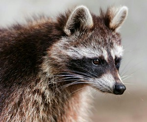 raccoon and animals image
