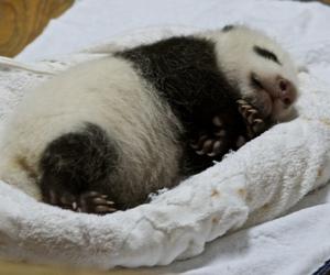 Chengdu, panda, and china image