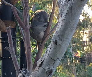 san diego zoo and koala sleeping image