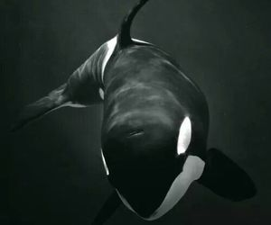 killer, orca, and whale image