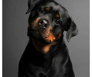rottweiler and dog image