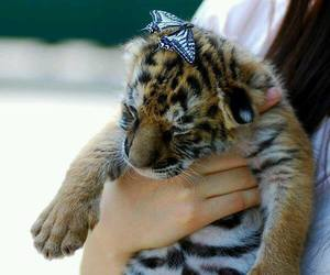tiger, cute, and butterfly image