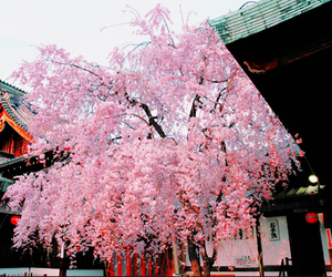 cherry blossom, tree, and japan image