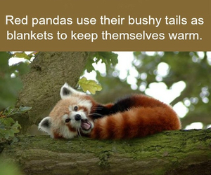 adorable, fact, and redpanda image