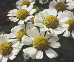daisies, details, and vsco image