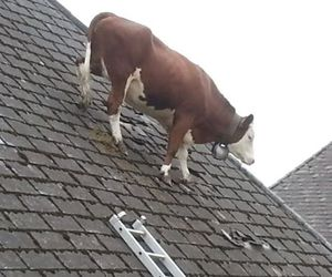 funny and cow image