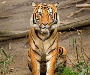 tiger, animal, and tigri image