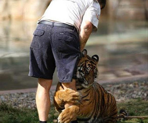 tiger, humour, and man handler image
