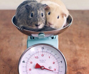 animals, guinea pigs, and pets image