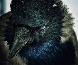 bird, raven, and black image