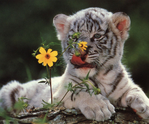 tiger, animal, and flowers image