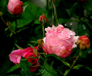 rose, water, and waterdrops image
