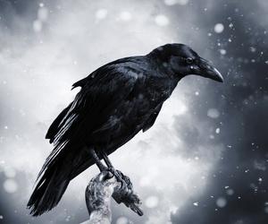 bird, raven, and crow image
