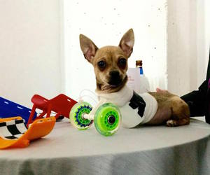 chihuahua, two-legged, and 3d-printed image