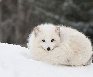 fox, cute, and snow image