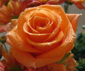 rose, flowers, and orange image