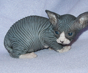 lovely, sweetheart, and sphynx image