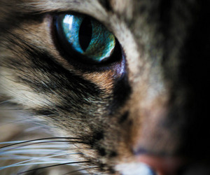 cat, eye, and animal image