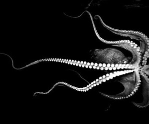 octopus, black and white, and photography image