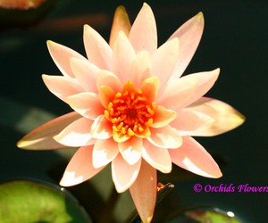 botany, water lily, and flora image