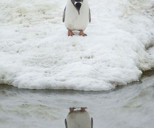 animals, penguin, and reflection image