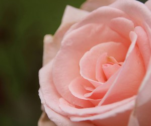 nature, rosa, and rose image