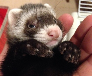 ferret and cute image