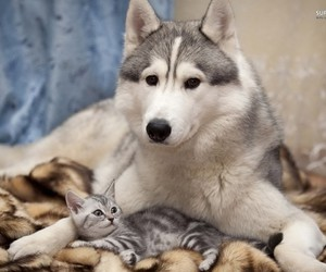 husky, kitten, and siberian image