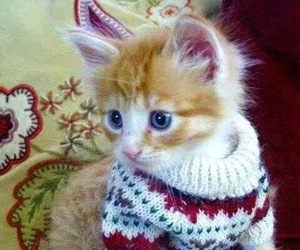 cat, animal, and sweater image