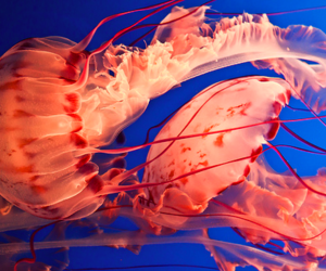 jelly fish, red, and jellyfish image