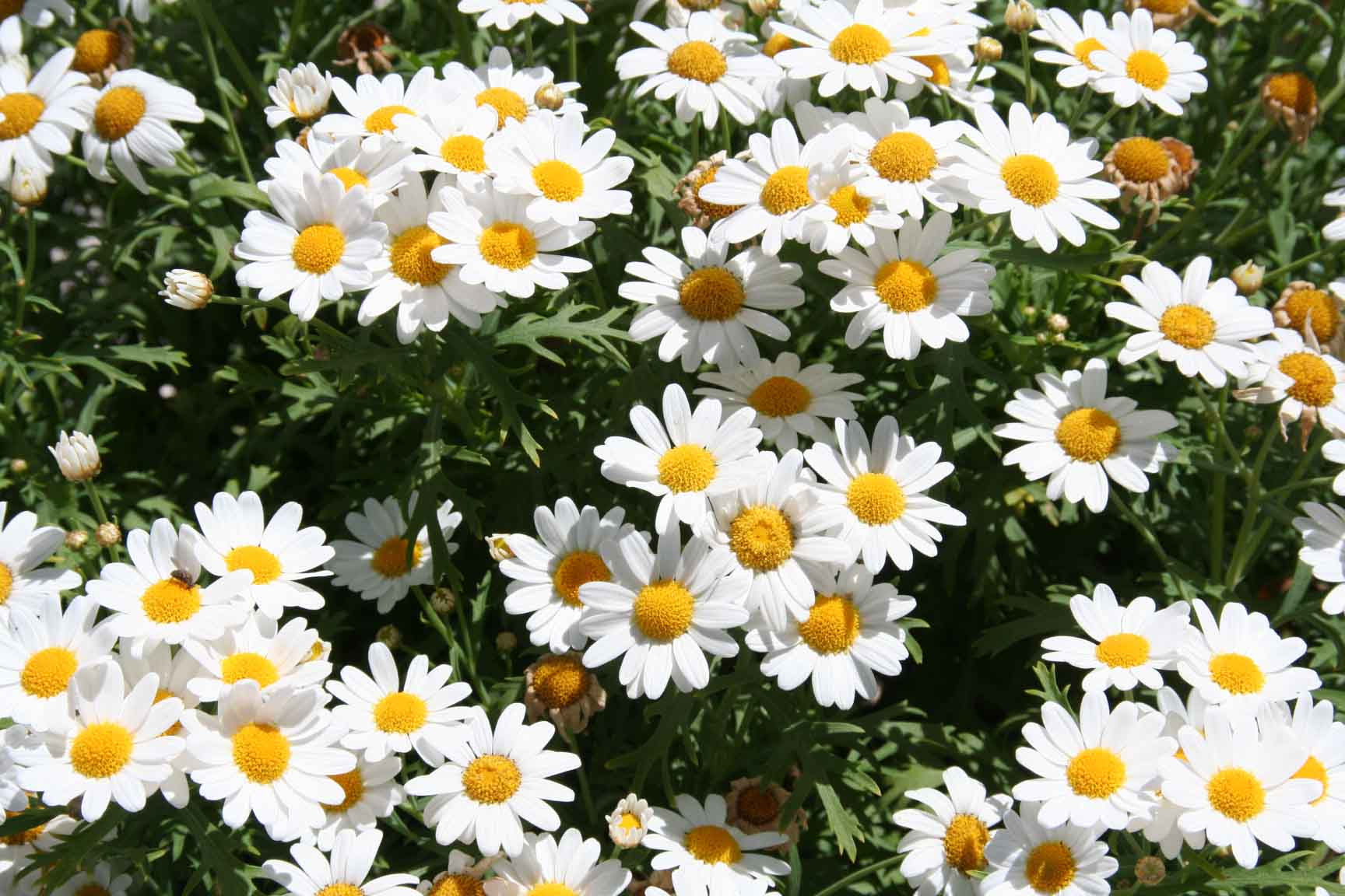 white daisies google images on we heart it