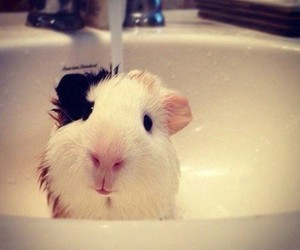 animal, cute, and guinea pig image