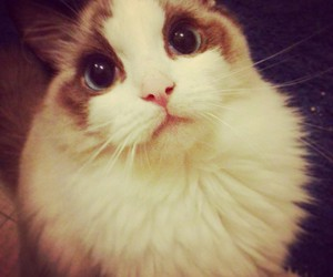 beauty, cat, and fluffy image