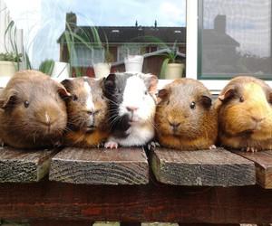 dutch, guinea pigs, and home image